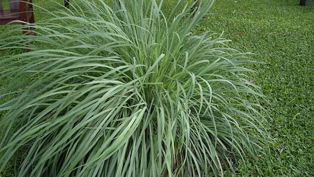 Citronella grass can repel bugs and mosquitoes