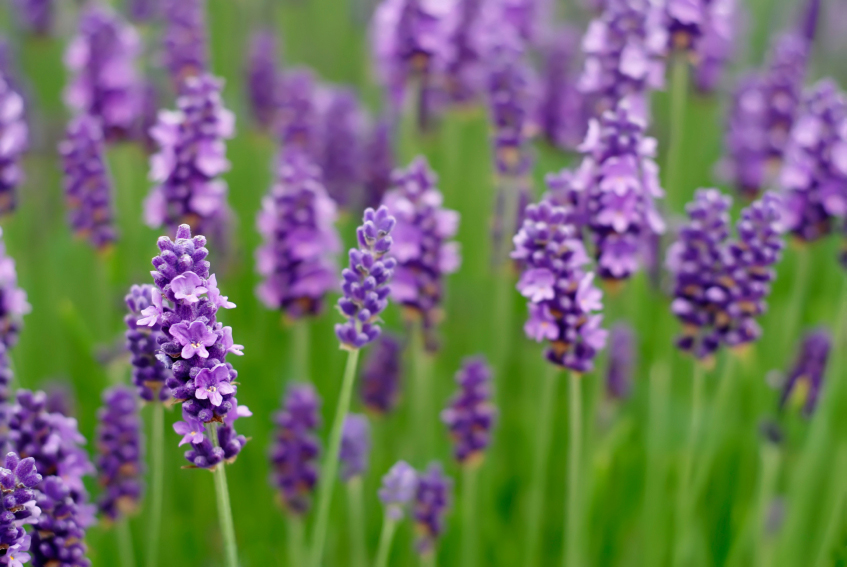 Lavender can repel bugs and mosquitoes