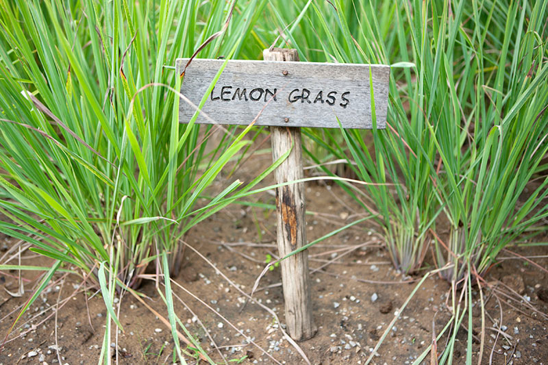 Lemongrass can repel bugs and mosquitoes