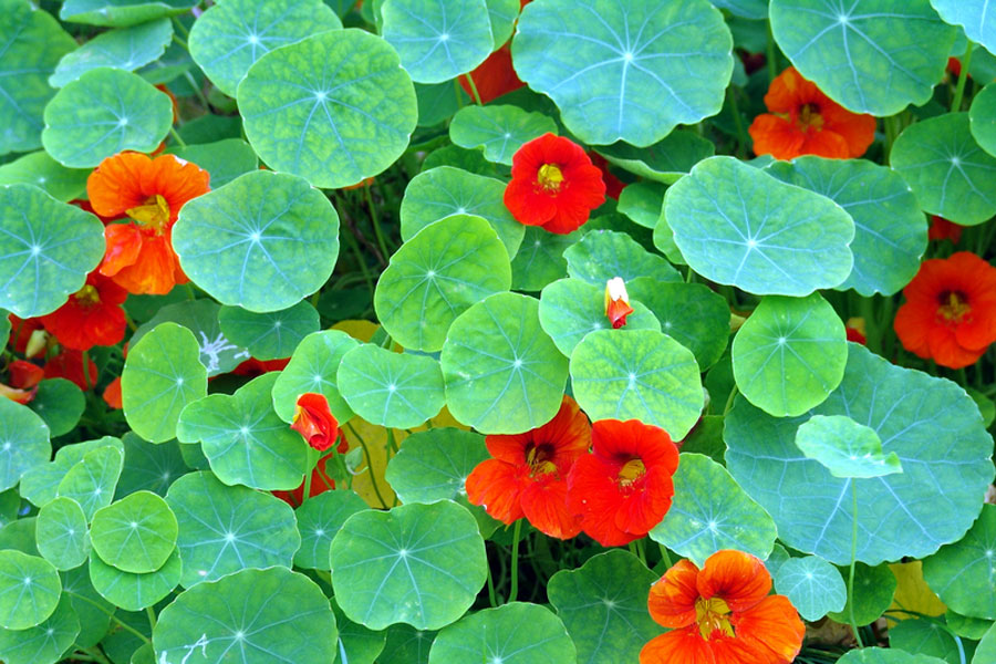 Nasturtium can repel bugs and mosquitoes
