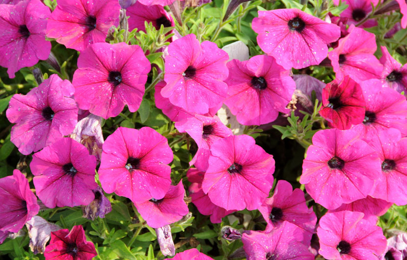 Petunias can repel bugs and mosquitoes