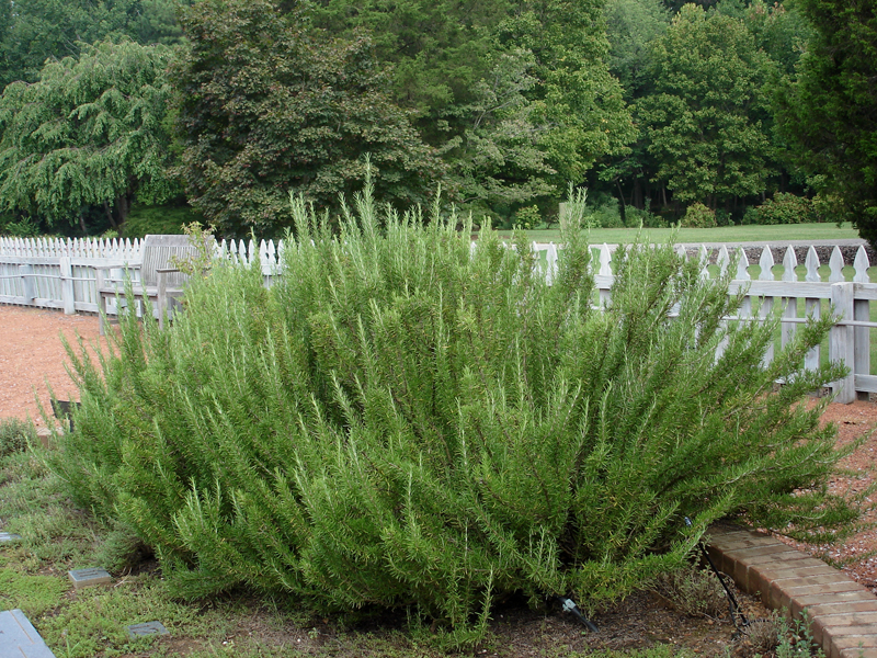 Rosemary can repel bugs and mosquitoes